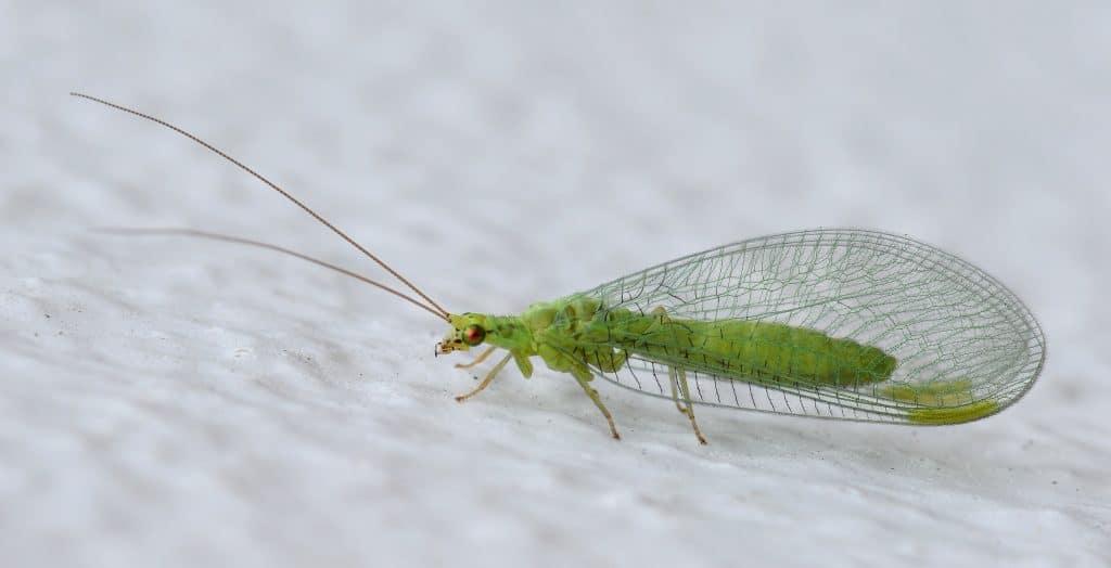 Neuroptera1