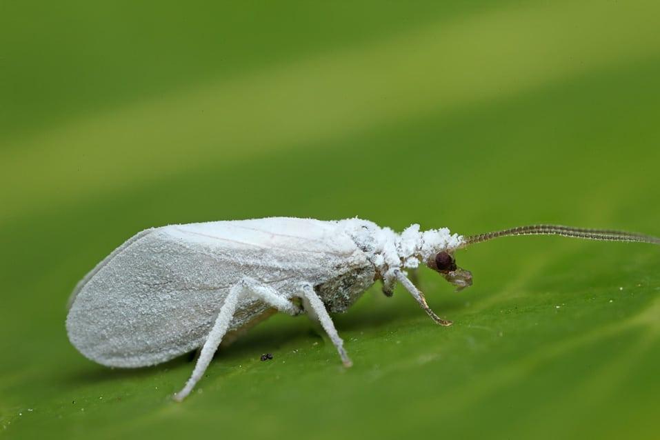 Neuroptera10jpg