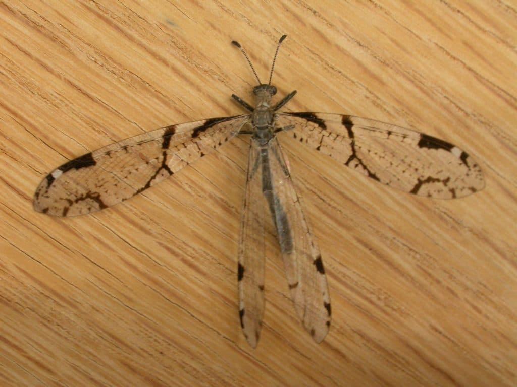 Neuroptera15pg