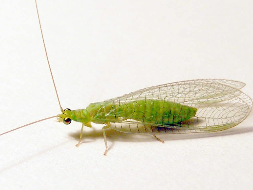 Neuroptera17pg