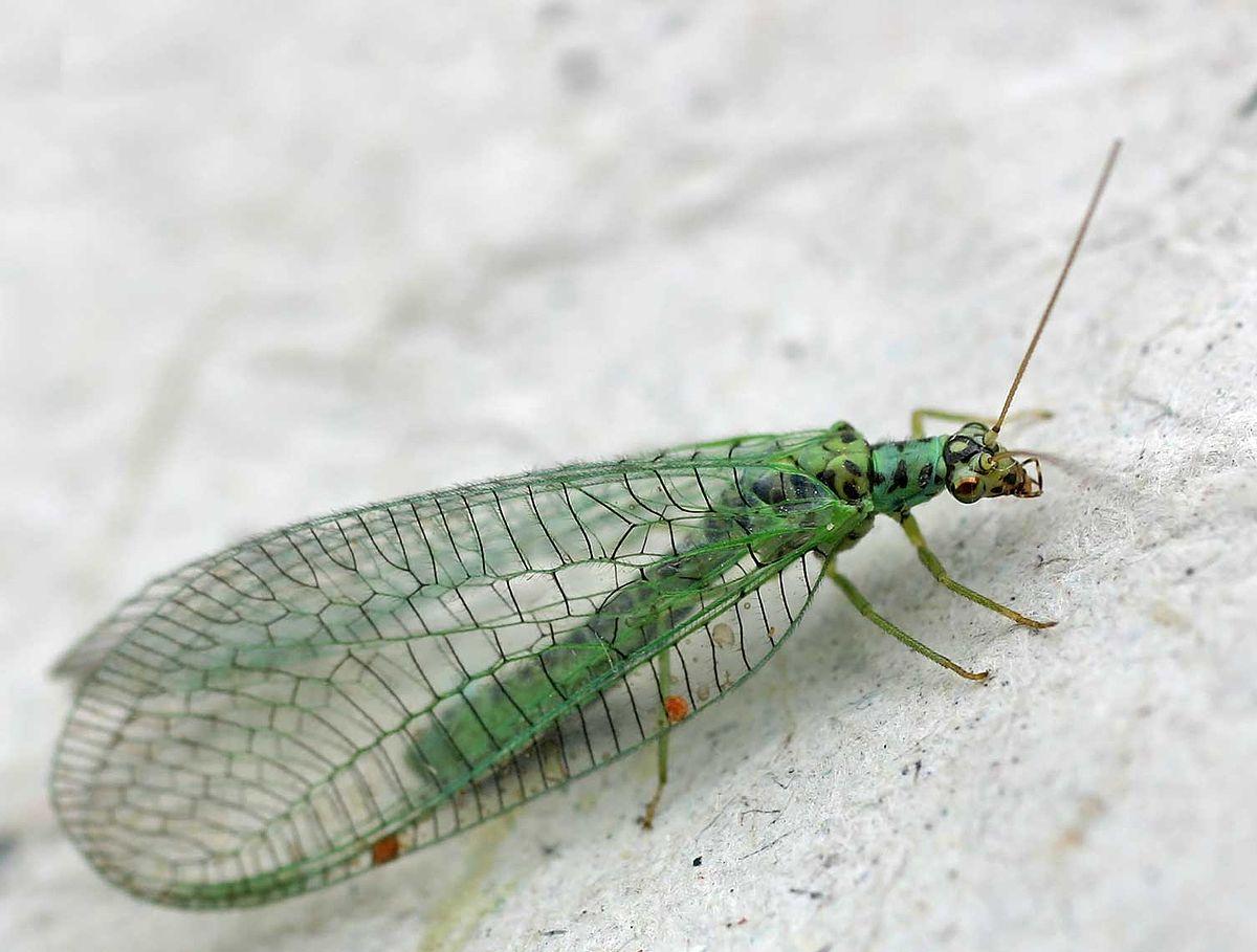 Neuroptera19pg