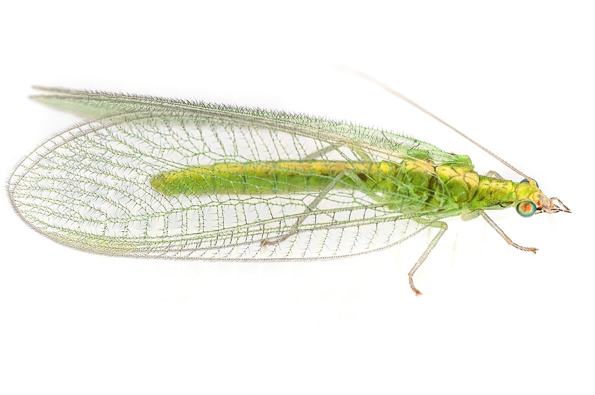 Neuroptera20pg