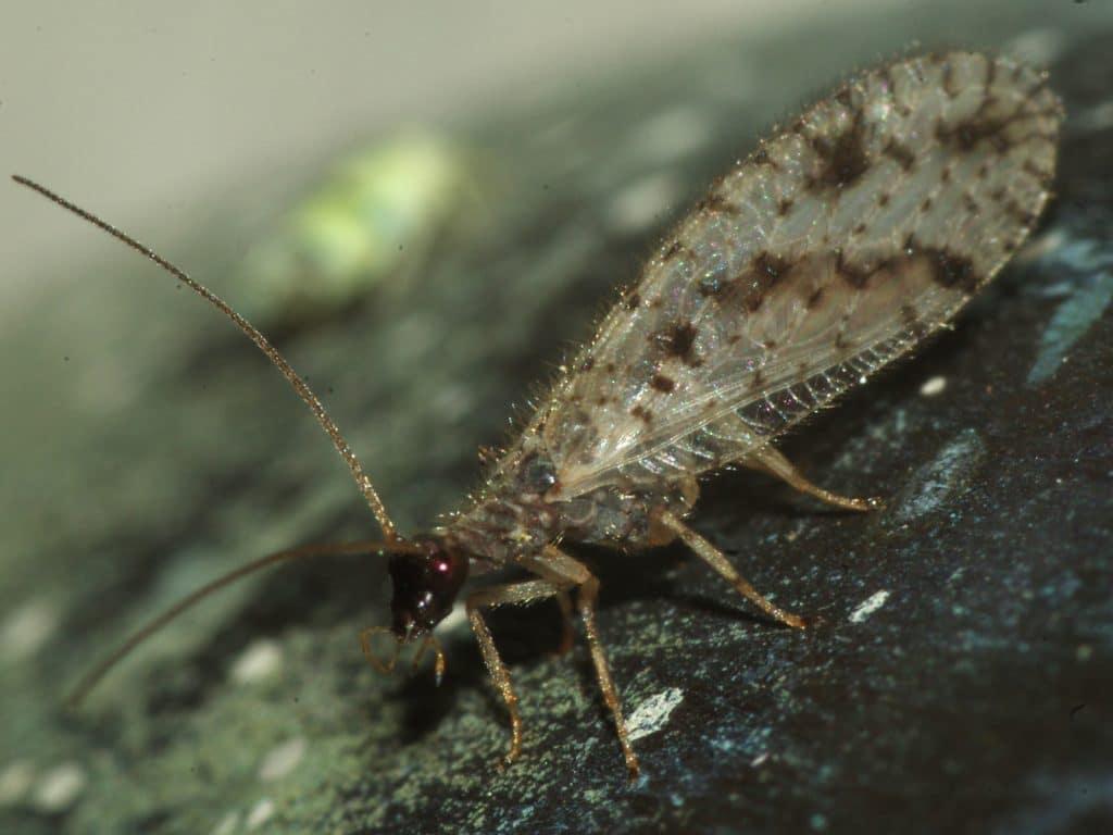 Neuroptera24pg