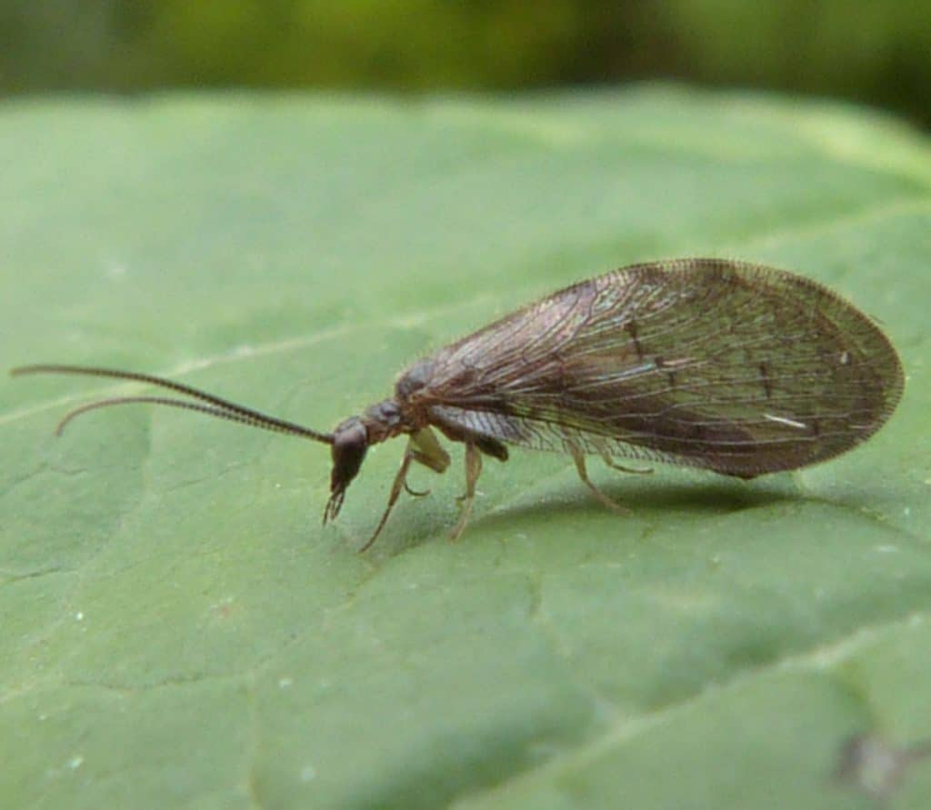 Neuroptera25pg