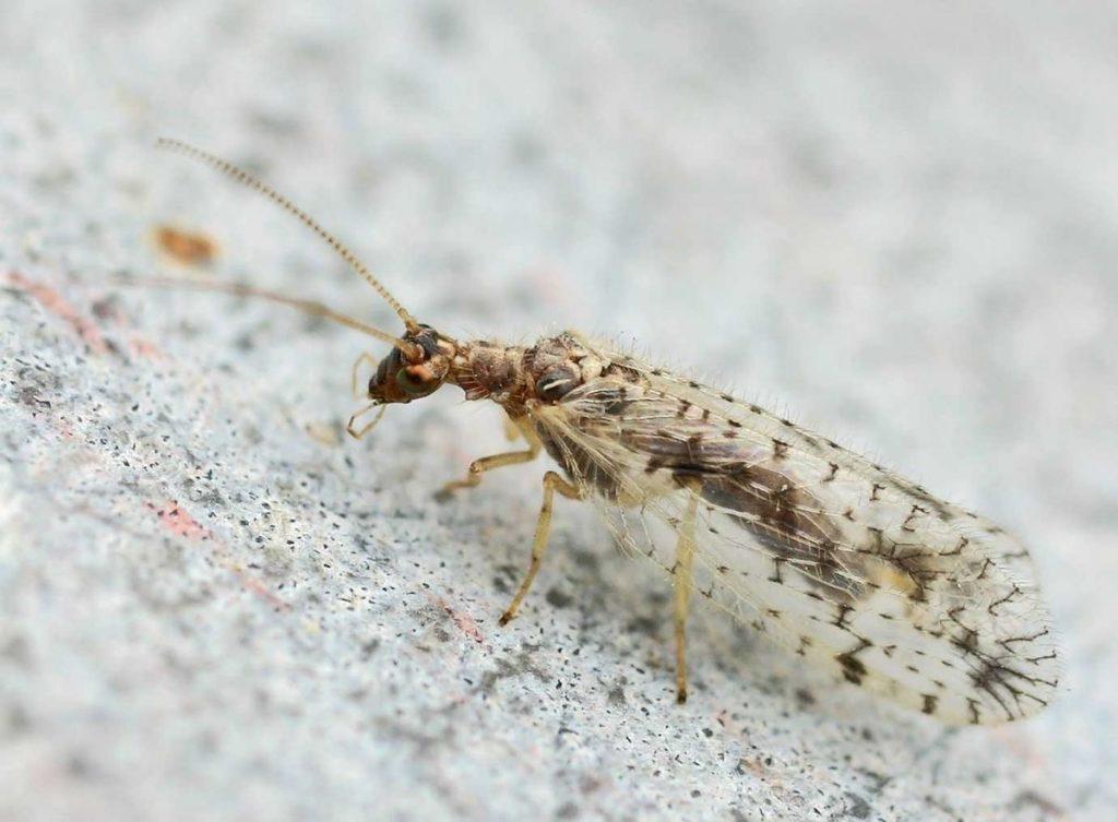 Neuroptera26pg