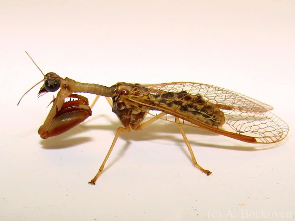 Neuroptera29pg