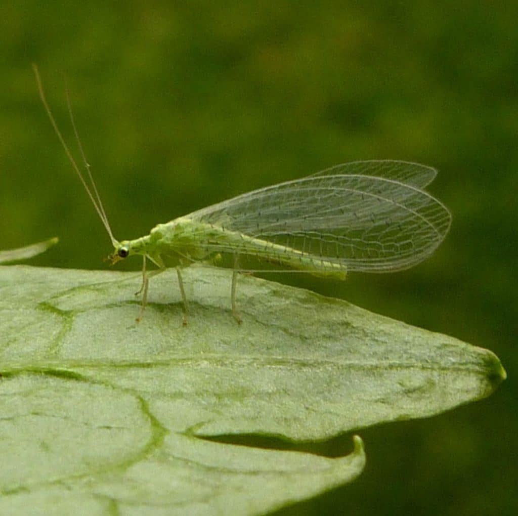 Neuroptera3