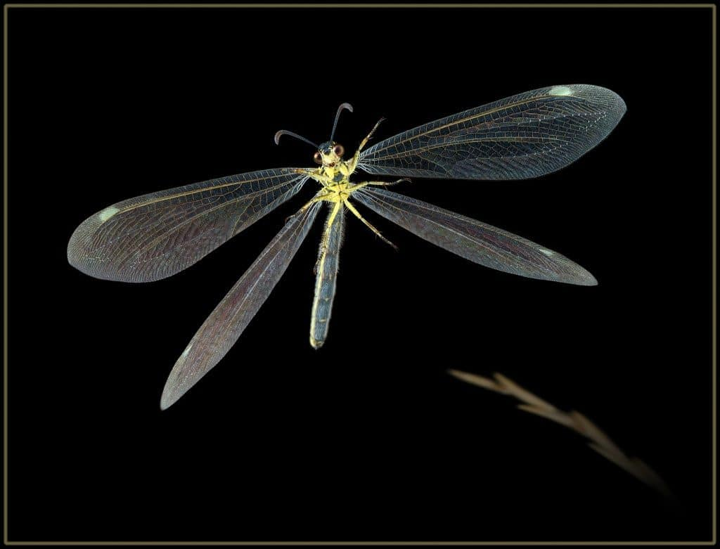 Neuroptera32pg