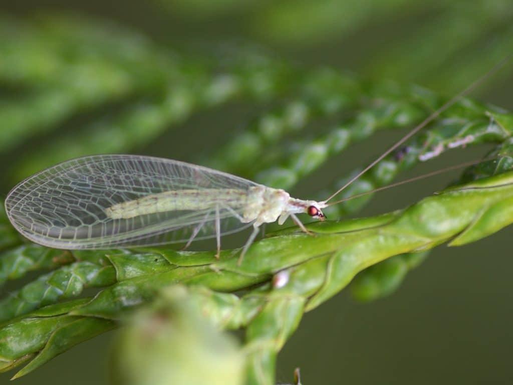 Neuroptera5