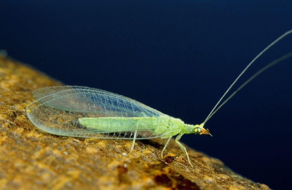 Neuroptera6