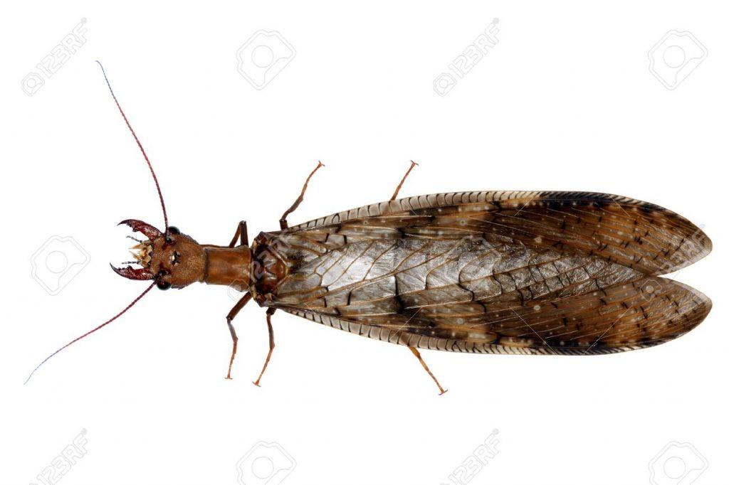 Neuroptera9