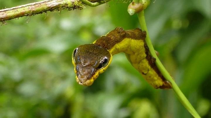 Oruga-serpiente2