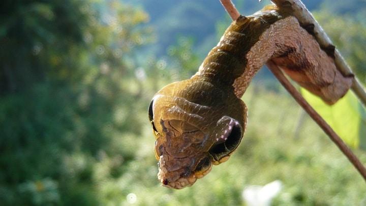Oruga-serpiente5
