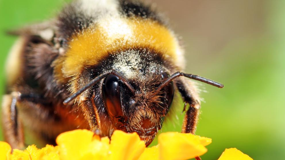 picaduras de abejorros