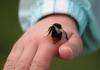 Picaduras de abejorros: Sintomas, remedios casero y más