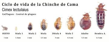 Piquete-de-chinche-8