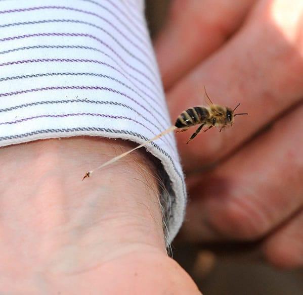 Por qué las abejas mueren cuando pican