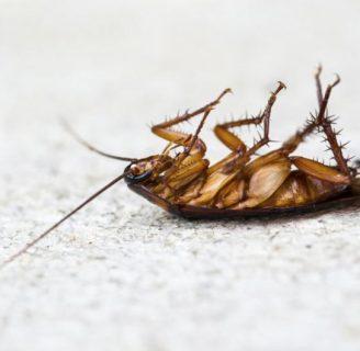 Por qué lascucarachas mueren boca arriba: Averigua las razones