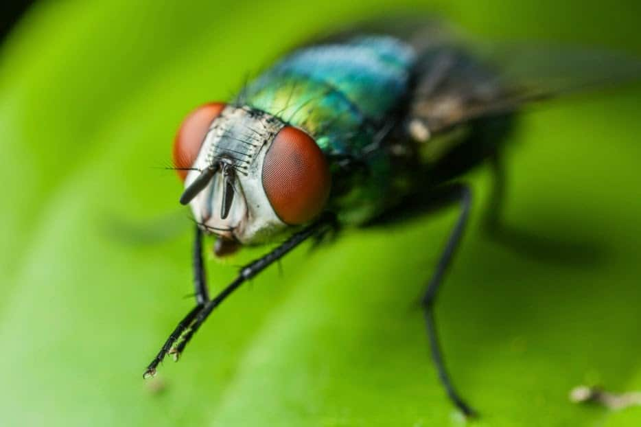 Por qué las moscas se frotan las patas