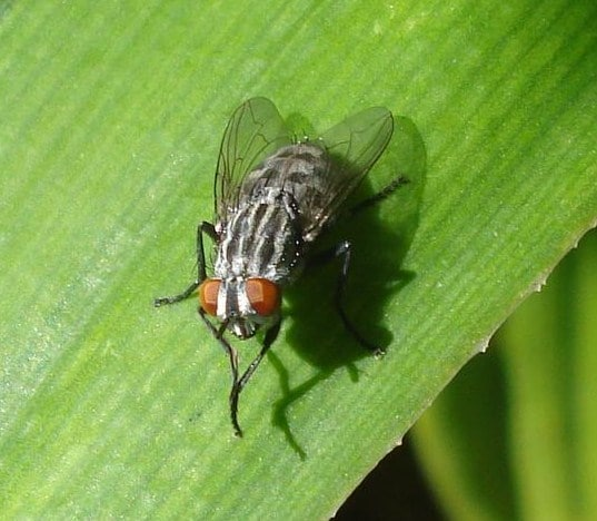 Por-qué-las-moscas-se-frotan-las-patas2