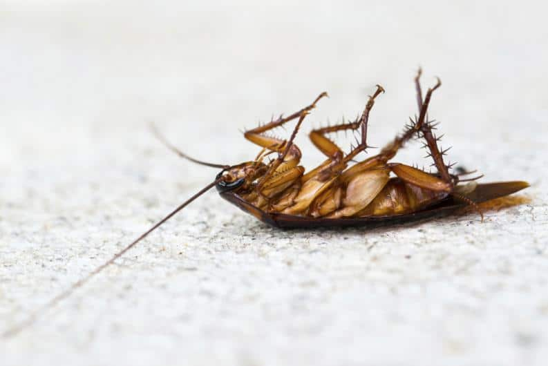 Por qué las cucarachas mueren boca arriba