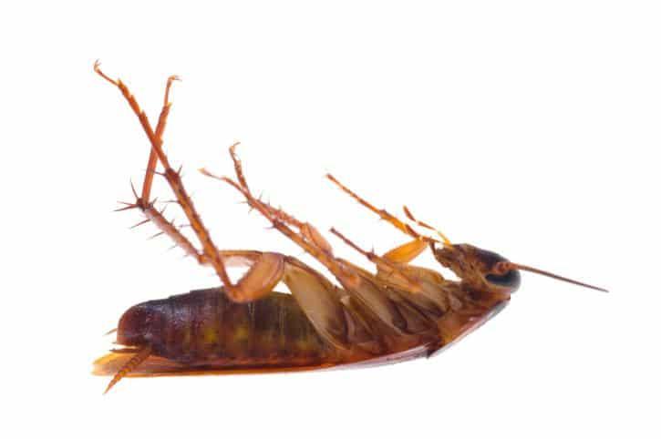 Por-qué-las-cucarachas-mueren-boca-arriba2