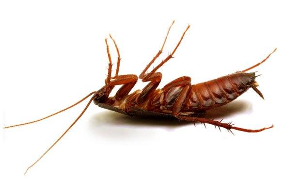 Por-qué-las-cucarachas-mueren-boca-arriba4