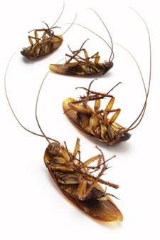 Por-qué-las-cucarachas-mueren-boca-arriba5
