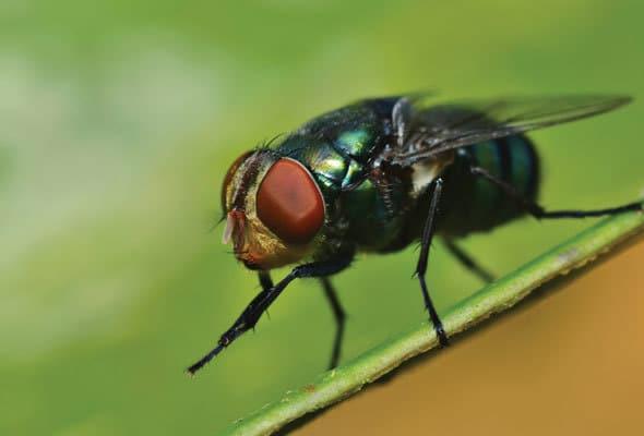 Por-qué-las-moscas-se-frotan-las-patas3