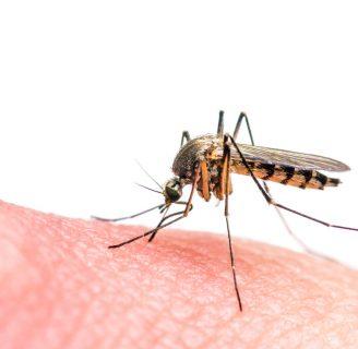 Por qué losmosquitoszumban en el oído: Descubre el misterio