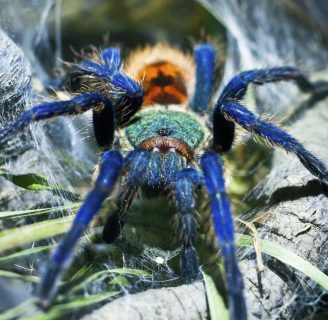 Tarántula azul: Conoce todo lo que deberías saber sobre ellas