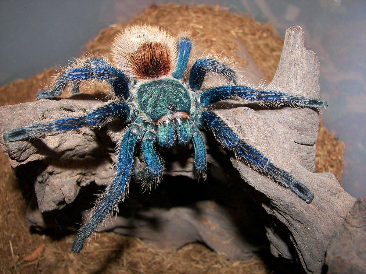Tarántula-azul2