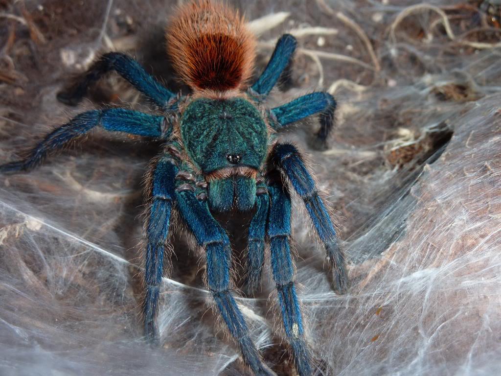 Tarántula-azul3