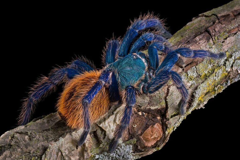 Tarántula-azul7