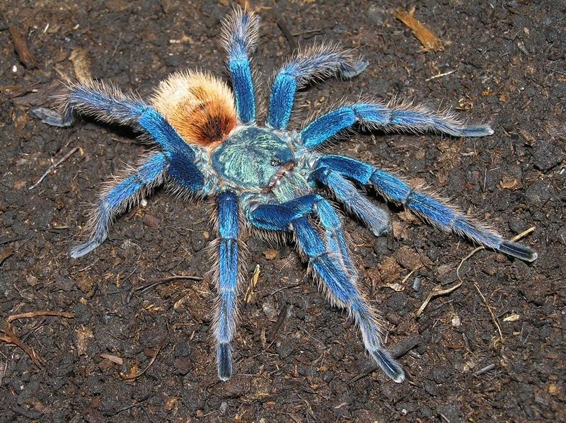 Tarántula-azul12