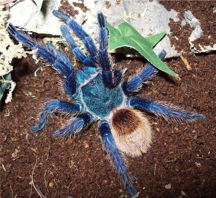 Tarántula-azul13