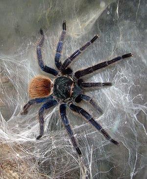 Tarántula-azul15