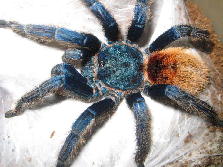 Tarántula-azul16