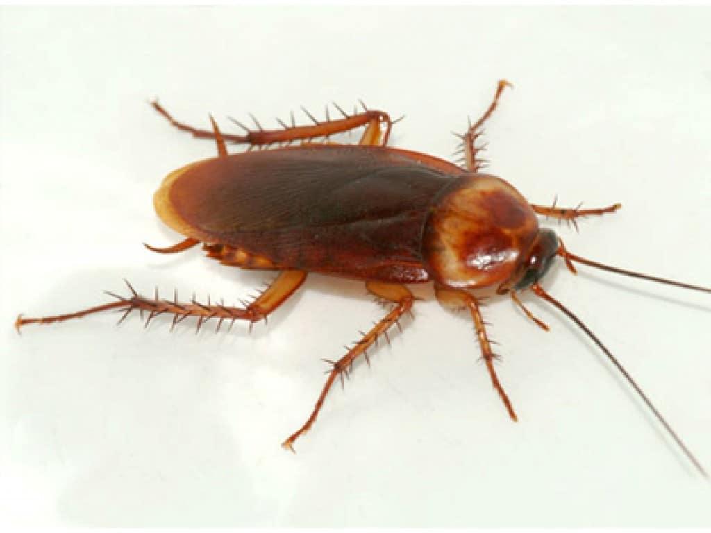 Tipos-de-cucarachas10