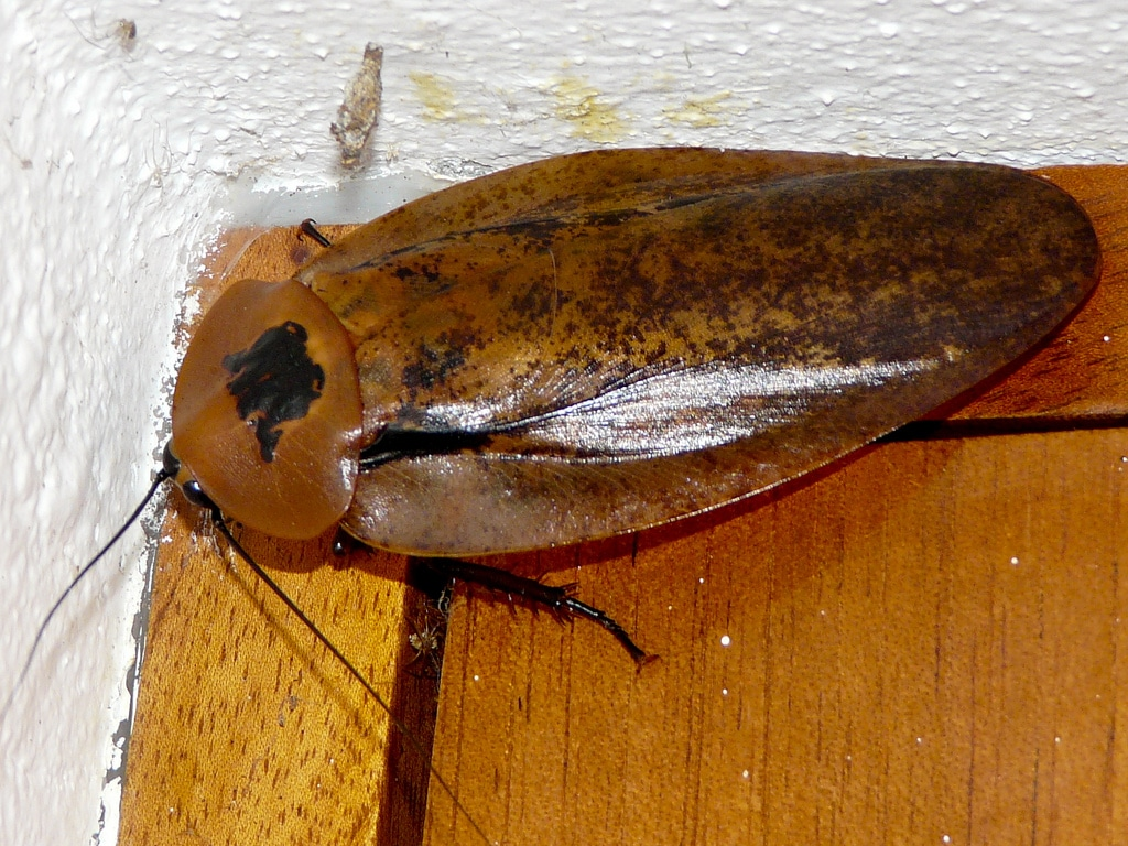 Tipos-de-cucarachas11