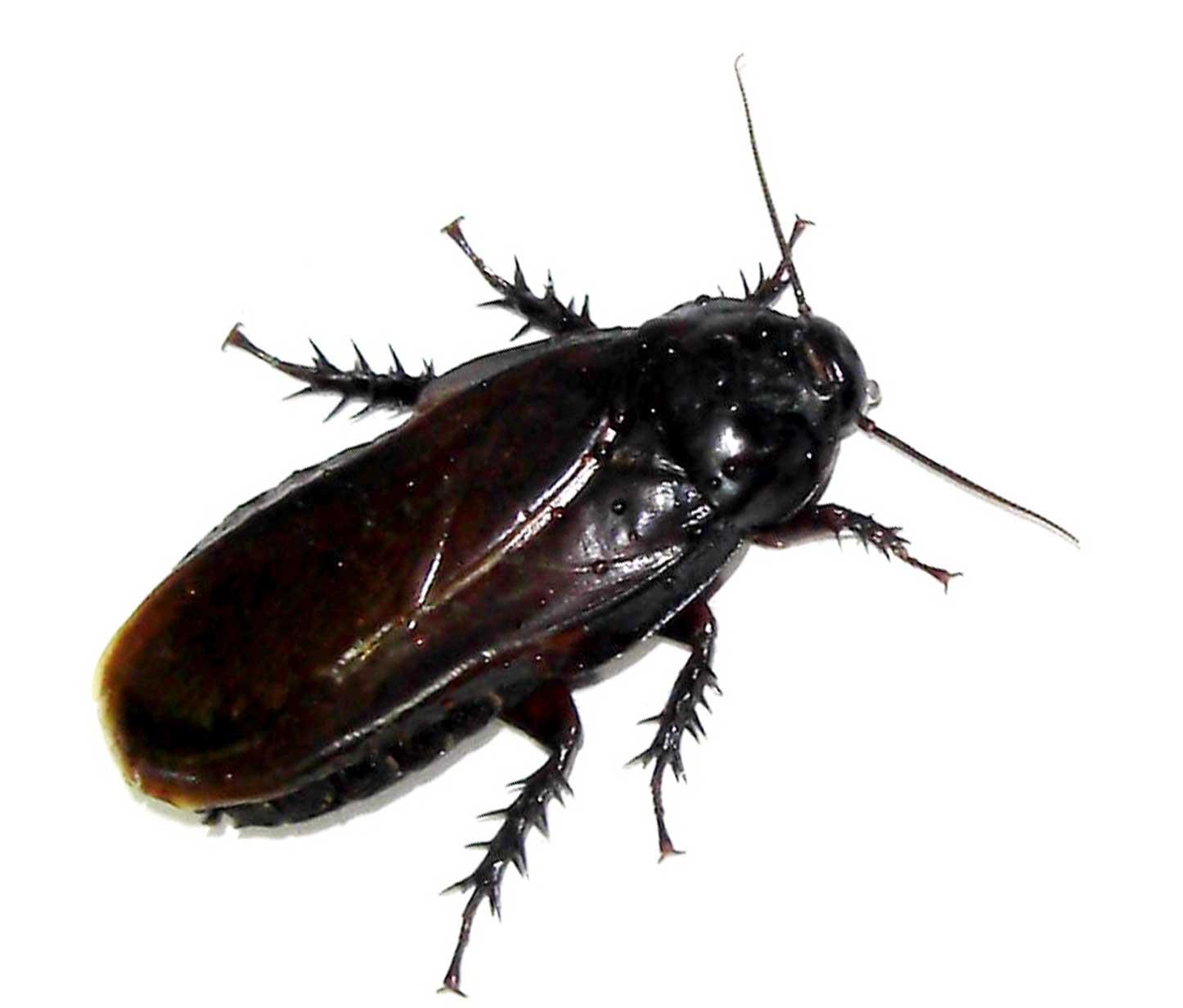Tipos-de-cucarachas14