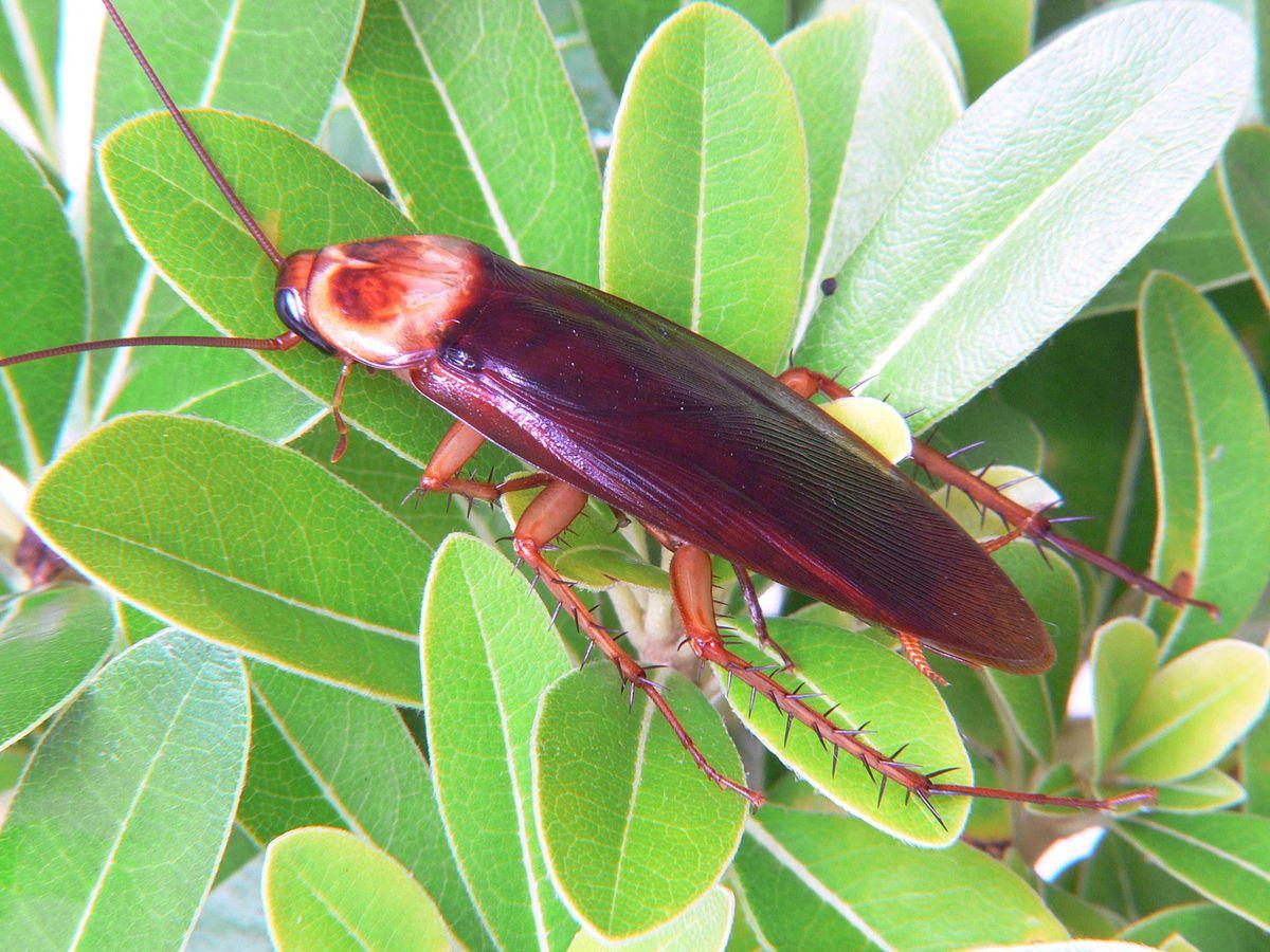 Tipos-de-cucarachas16
