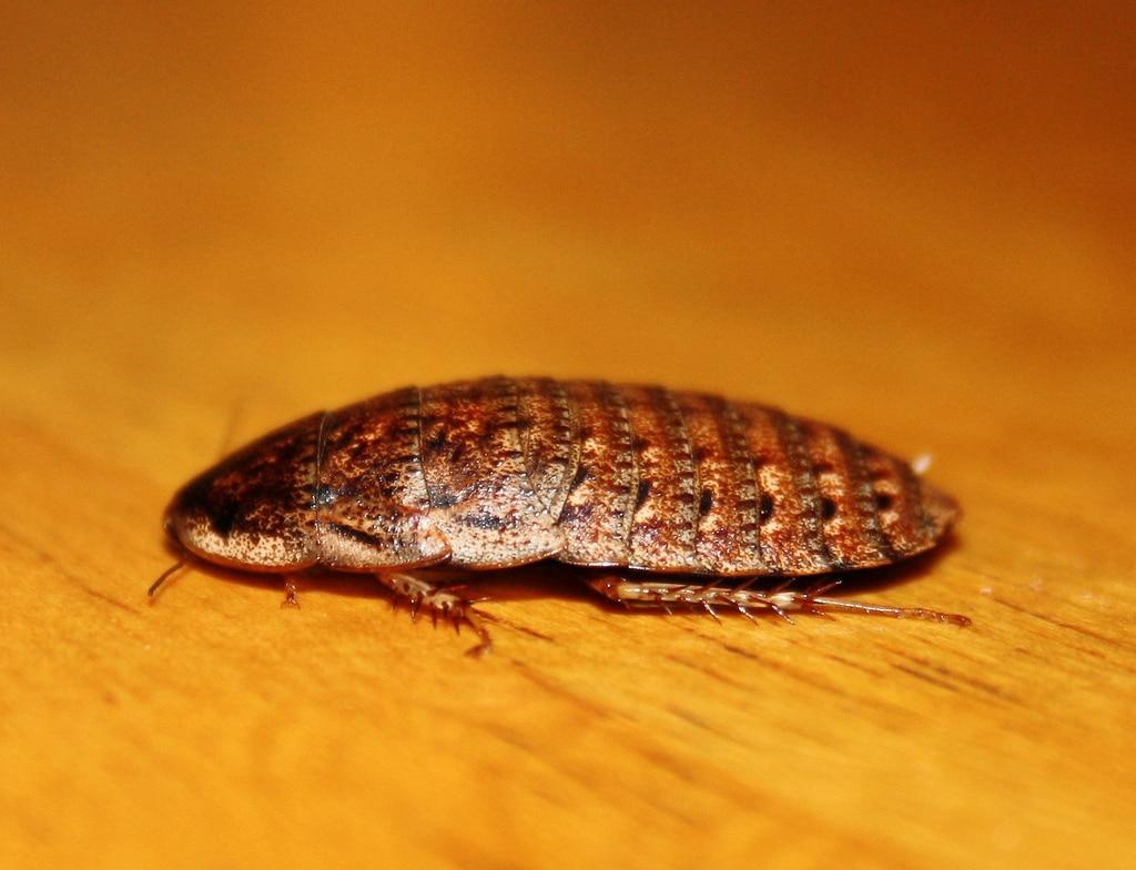 Tipos-de-cucarachas17