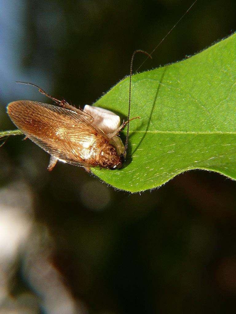 Tipos-de-cucarachas19