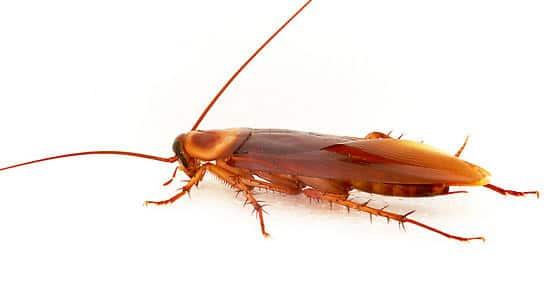 Tipos-de-cucarachas25