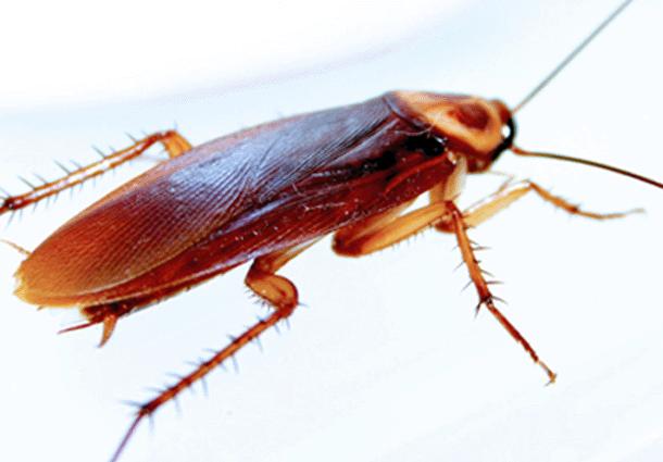 Tipos-de-cucarachas26