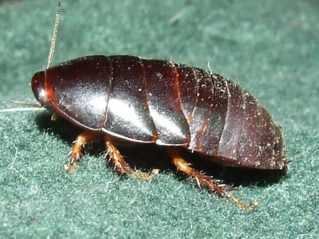 Tipos-de-cucarachas3