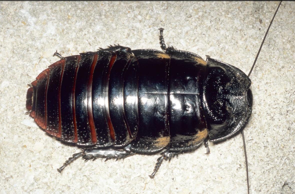 Tipos-de-cucarachas4