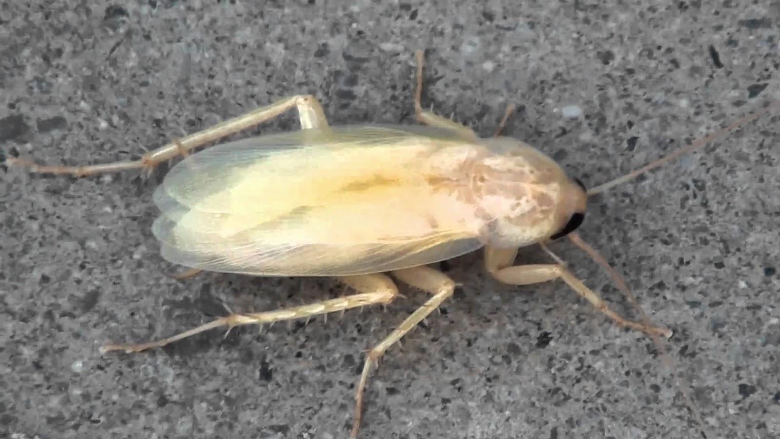 Tipos-de-cucarachas6