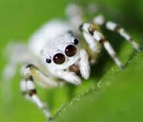 arañas blancas